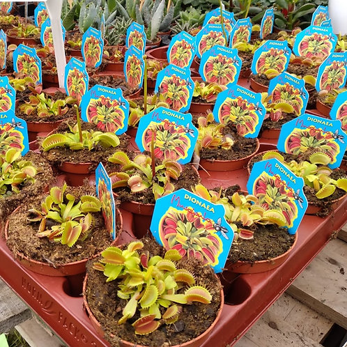 Dionaea 'Venus Fly Trap'