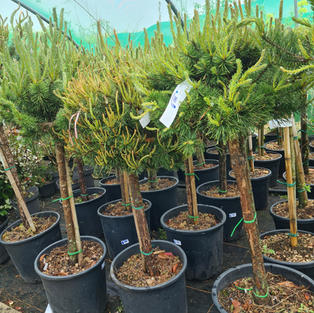 Pinus Glauca Standard