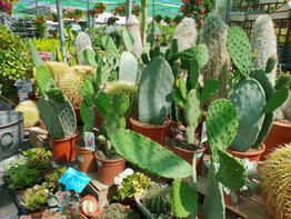Cacti, Prickly Pears and more.