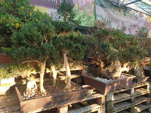 Podocarpus forest Bonsai