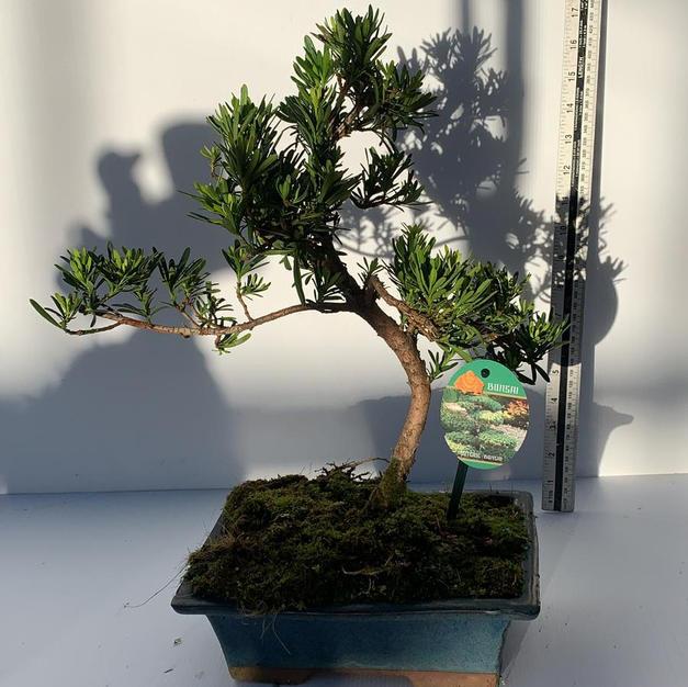 Podocarpus-Buddhist Pine