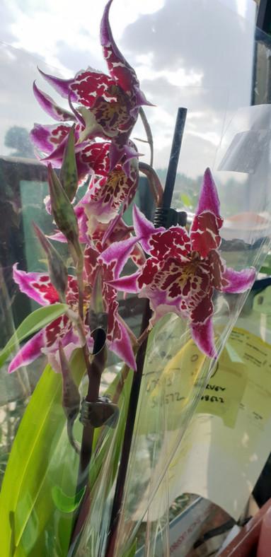 Cambria Orchids