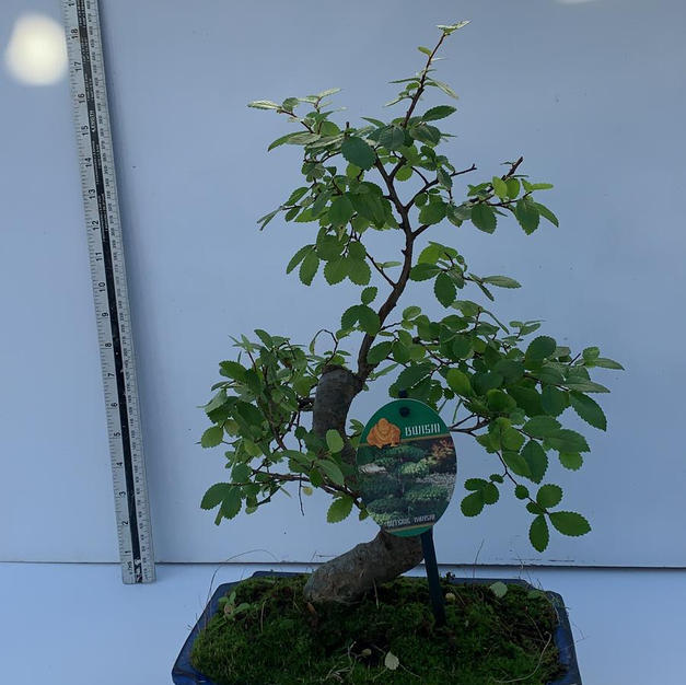 Ulmus- Chinese Elm