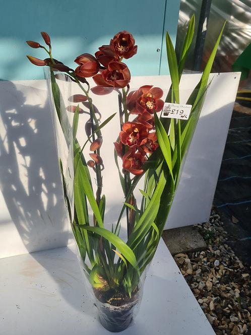 Cymbidium Orchid Burgundy