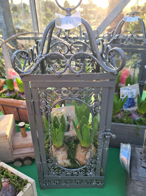 cage of Hyacinths