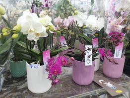 Phalaenopsis pots