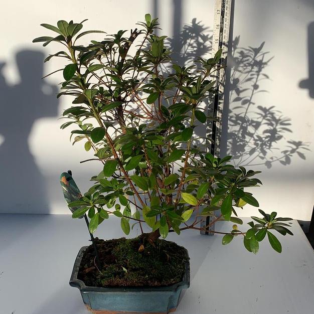 Azalea 'Satzuki'
