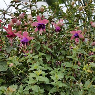 Fuchsia P