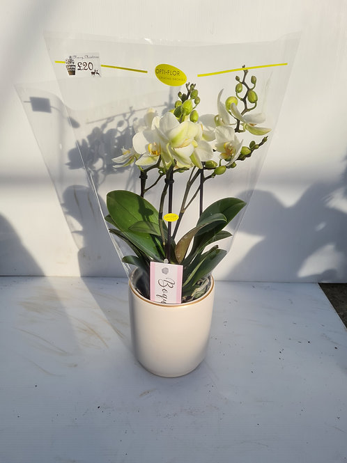 White Phalaenopsis Orchid in white pot