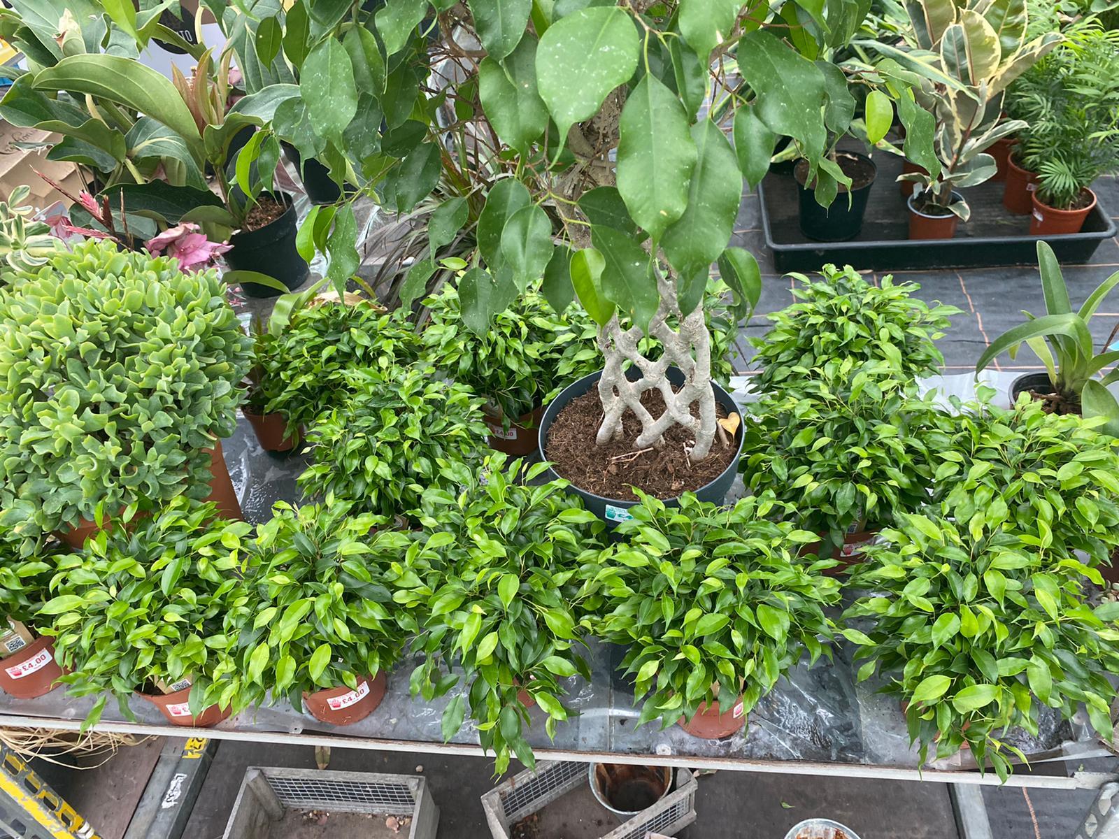 Ficus £4