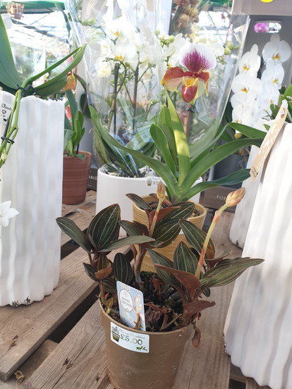 Ladys Slipper and Jewel Orchid