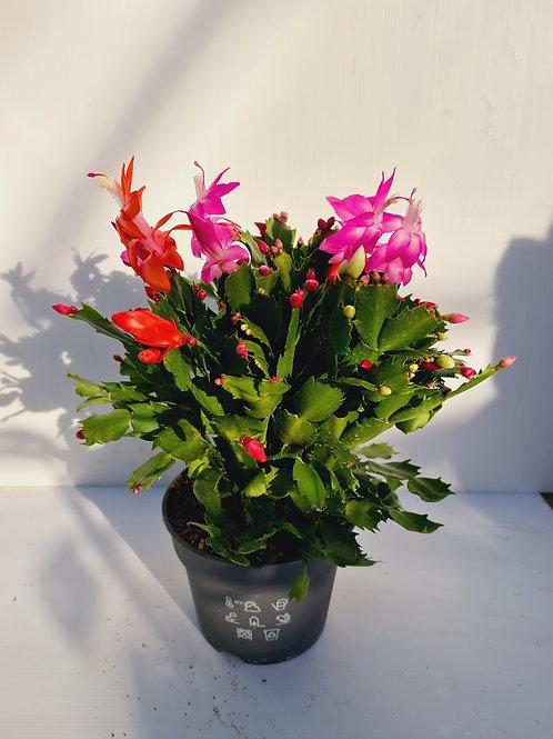 Large Flowering Cacti