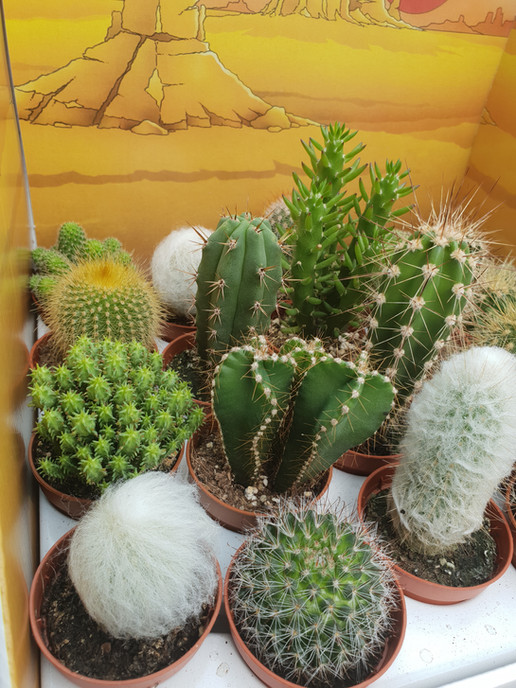 Mini Cacti £1.00 3 For £2.50