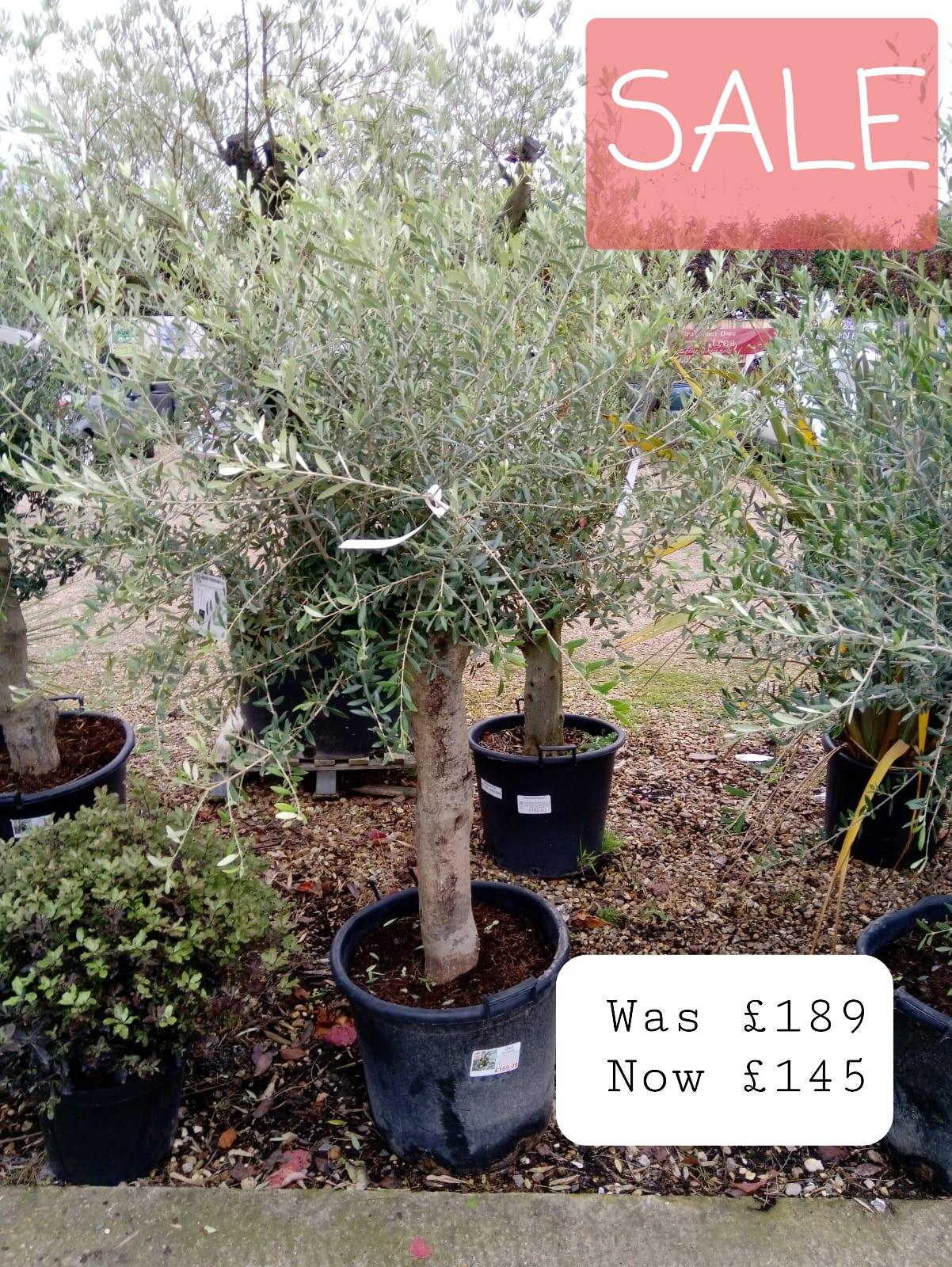 Sale Olive Trees