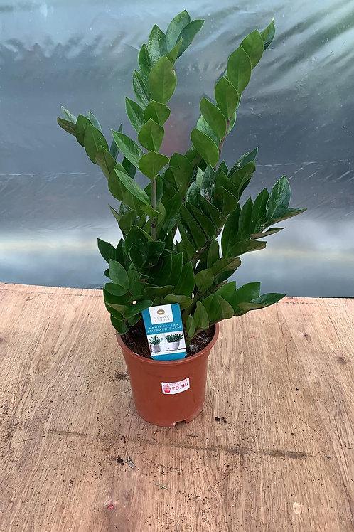 Zamioculcas 'Emerald Palm'