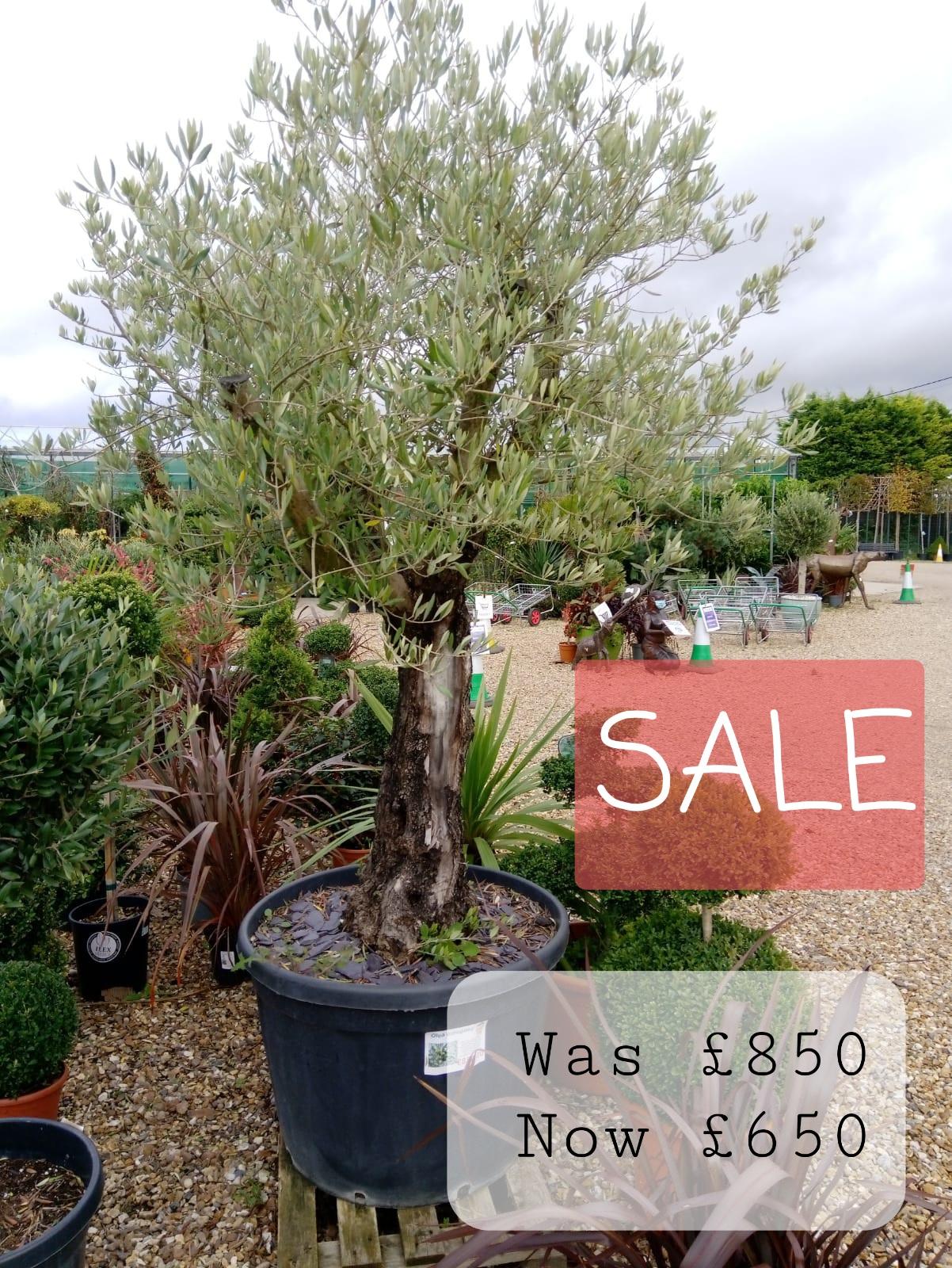 Sale Olives trees