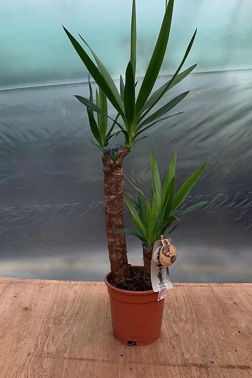 Yucca elephantipes - Spineless Yucca