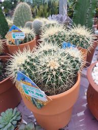 Medium Cactus with pot £7.50