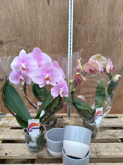 Phalaenopsis Orchid Hooped with Free Pot