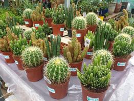 Medium Cacti £5.00