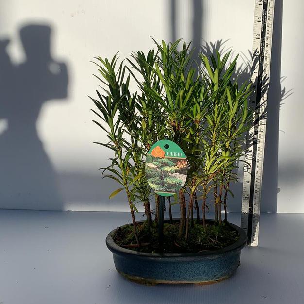 Podocarpus Forest-Buddhist Pine