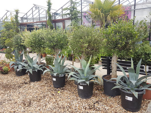 Agave and Olive trees