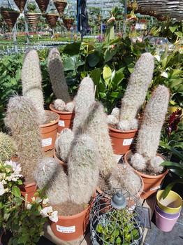 Large Cacti £49