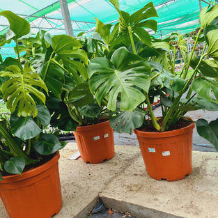 Monstera 'Cheese plant'