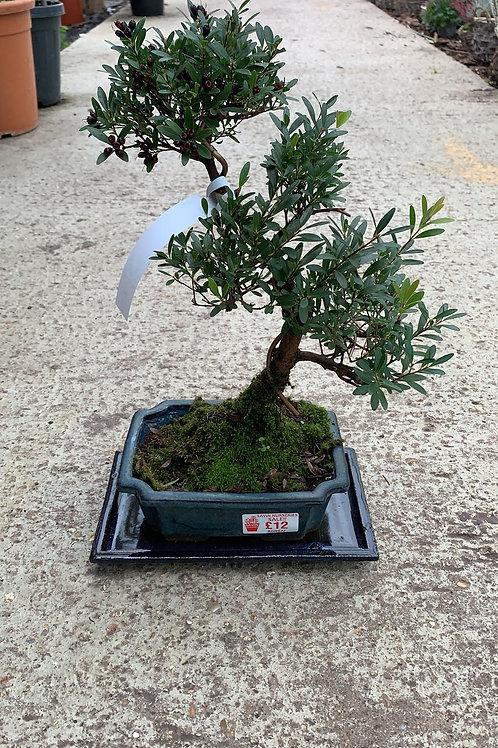 Syzygium Bonsai