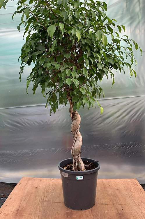 Ficus Benjamina 'Braided stem'