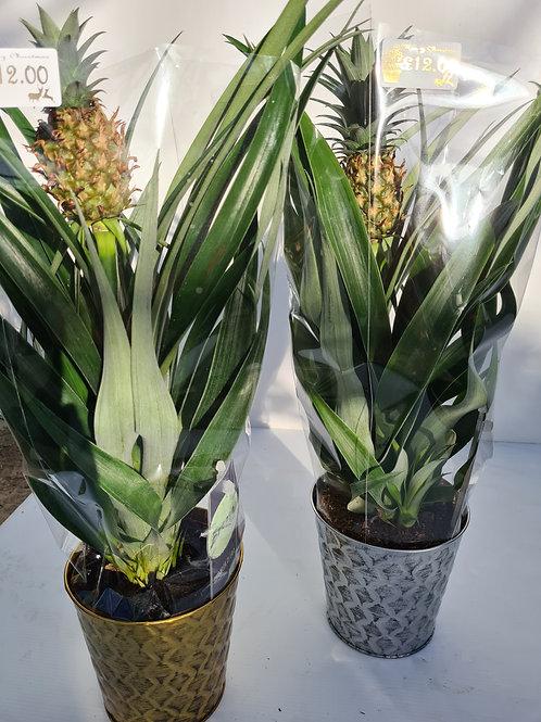 Pineapple in Tin