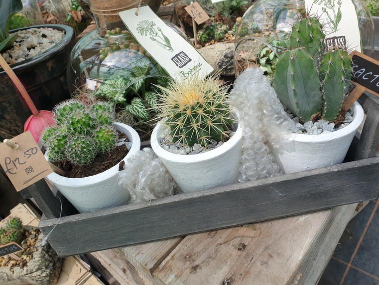 Trio Cacti planter £12.50