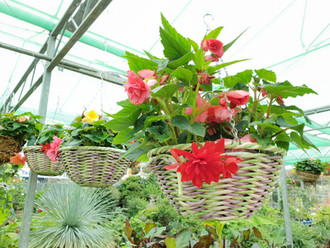 Mixed Begonia basket