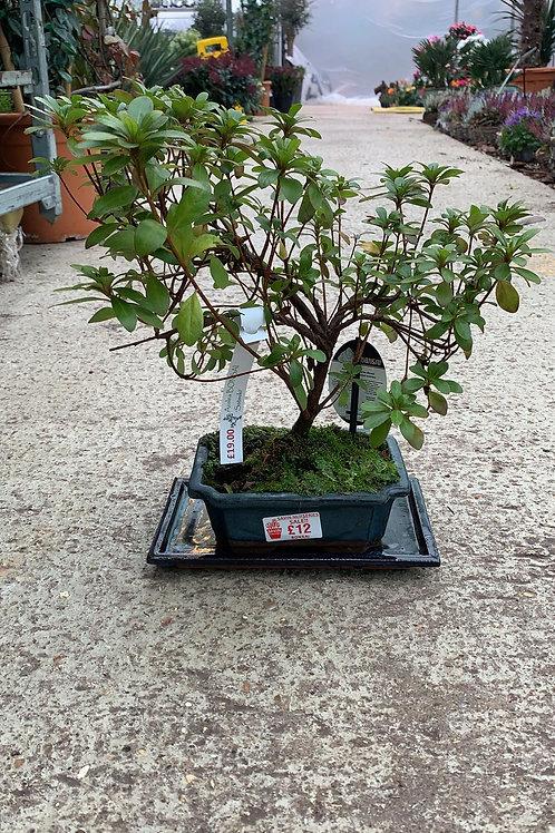 Azalea Bonsai plant