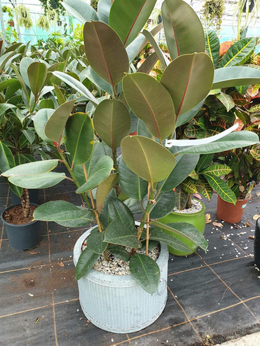 Rubber plants(Ficus)