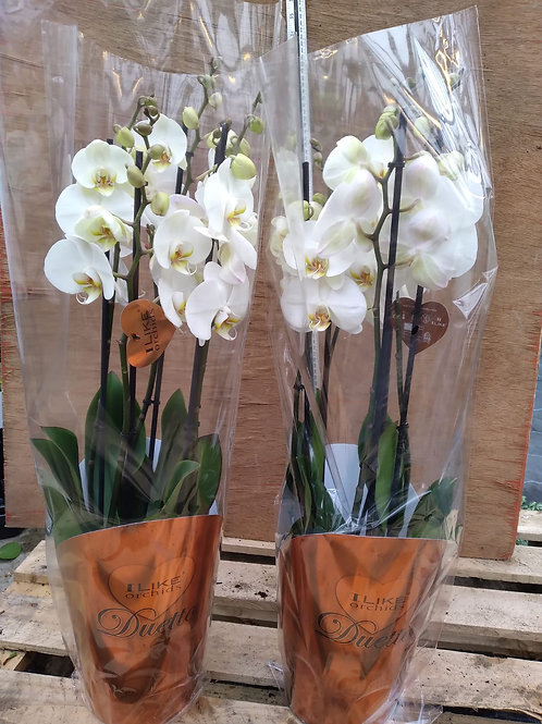 Phalaenopsis Orchid with 5 Stems