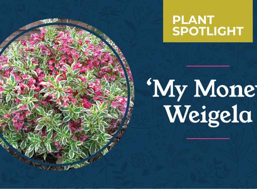 Plant Spotlight: 'My Monet' Weigela