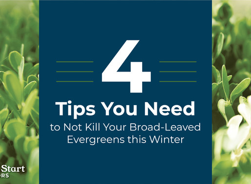 Four Tips You Need to Not Kill Your Broad-Leaved Evergreens this Winter