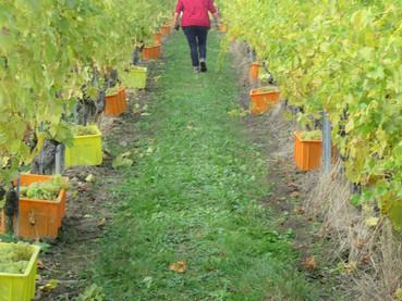 Colhendo uvas na Suíça
