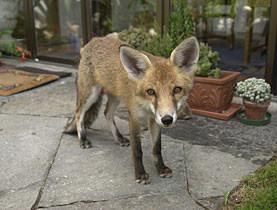 raposa, por swissinfo.com