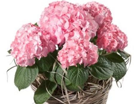 Pianta di Ortensia rosa con cesto