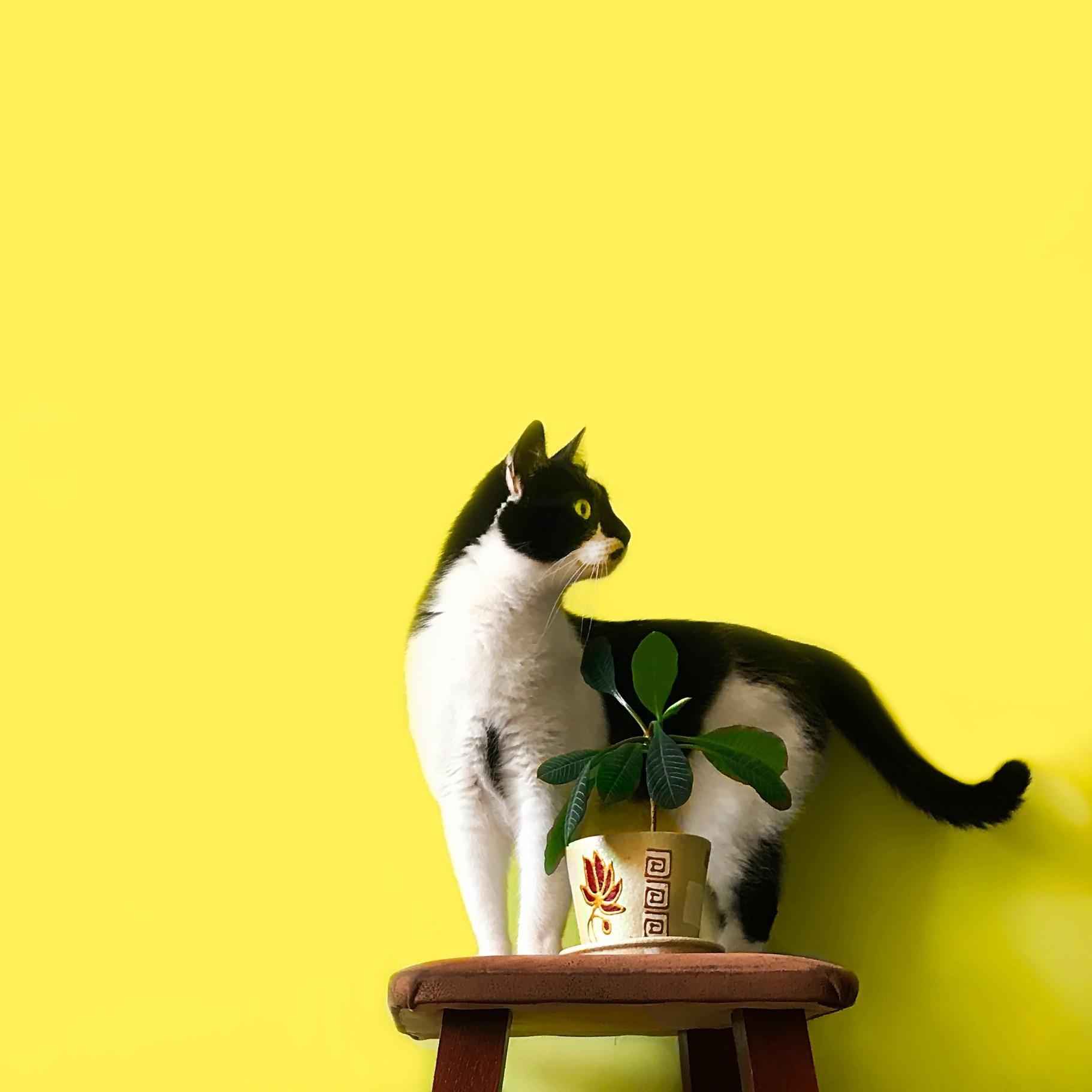 cat-yellow-background_edited