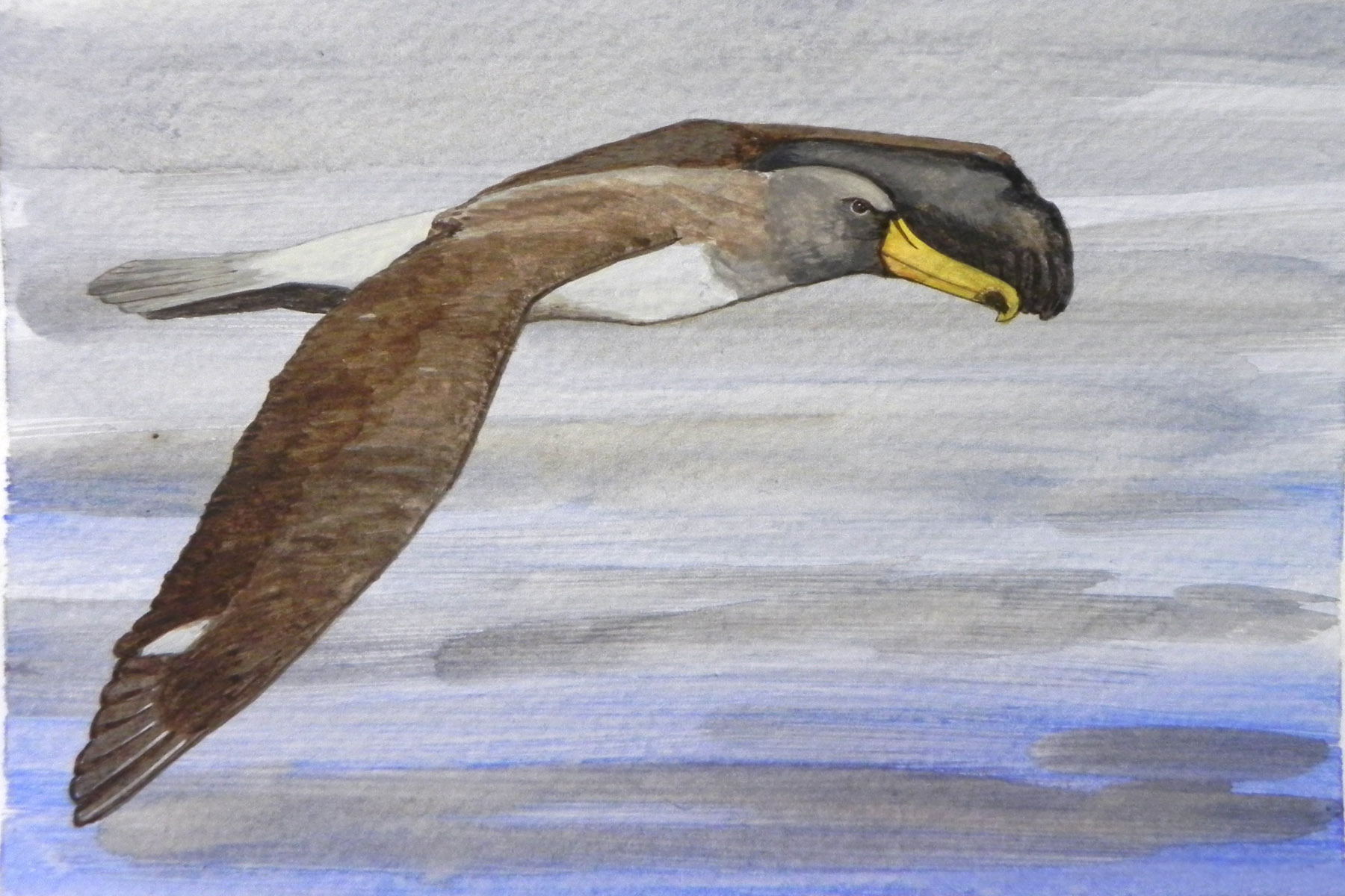 albatross (2)