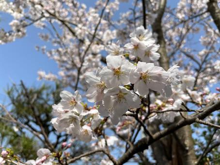2021/4/1 事務所の桜も満開に!