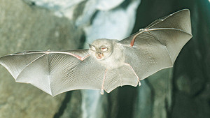 August Lesser Horseshoe Bat training