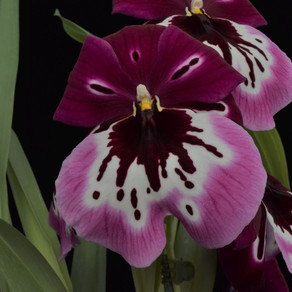 Devon Orchid Show