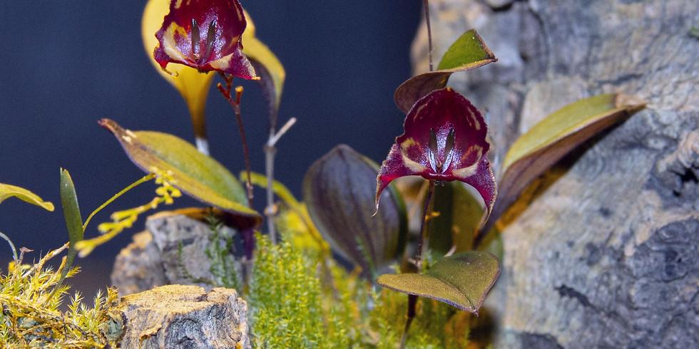 Little Orchids by Helen Milner