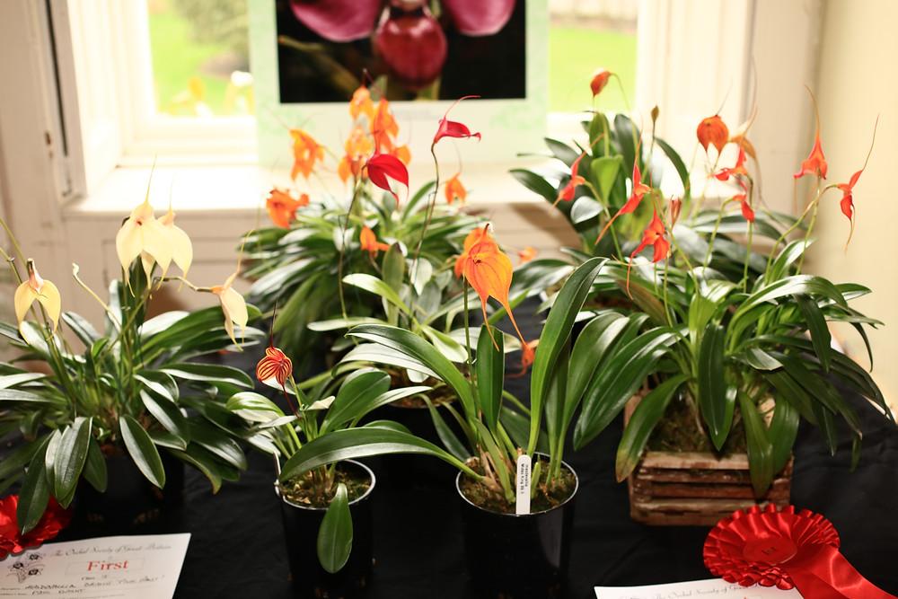 Masdevallia hybrids displayed by Paul Knight