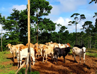 chill cows.jpg
