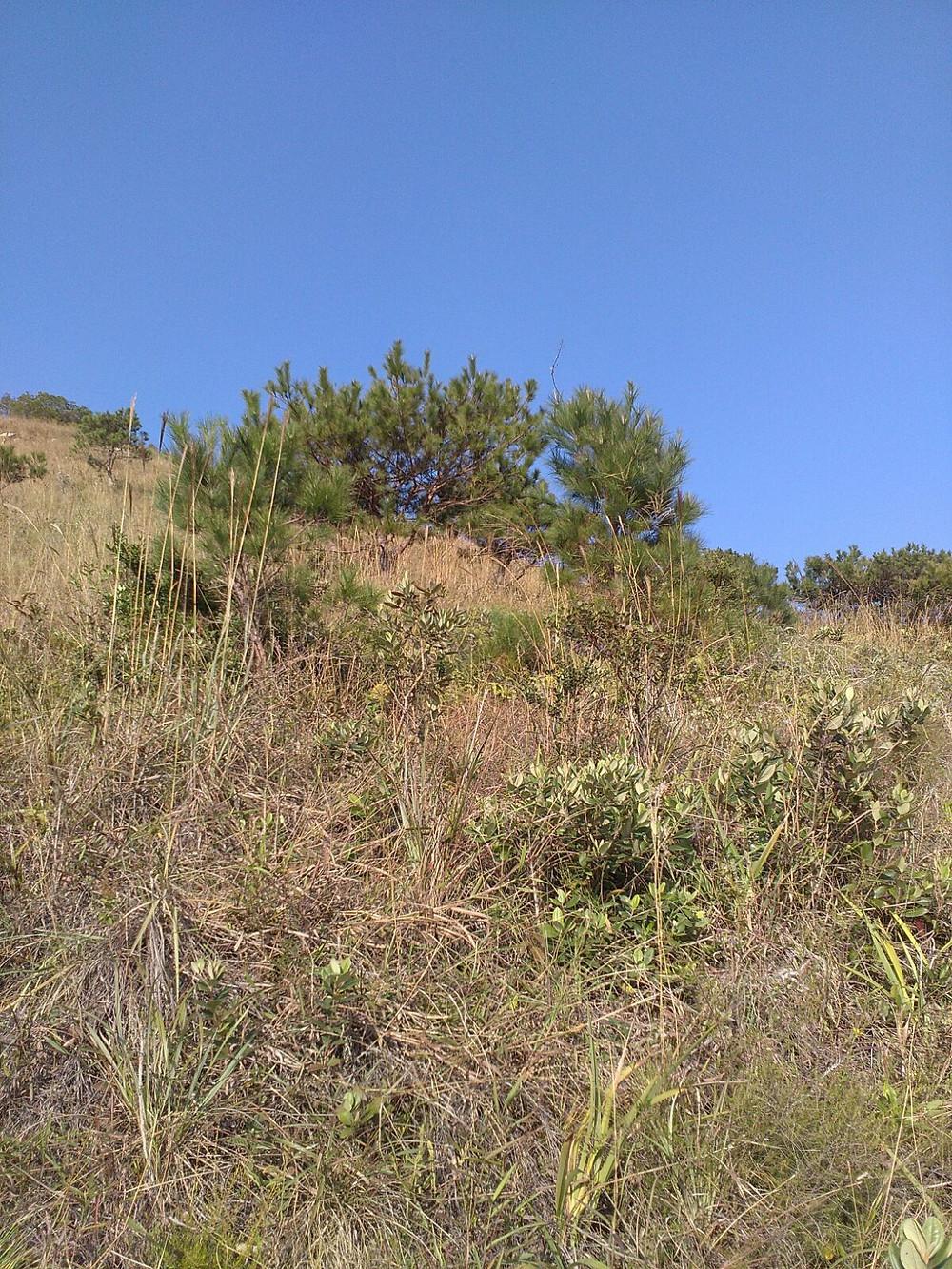 松針來源 - 山來野生松樹